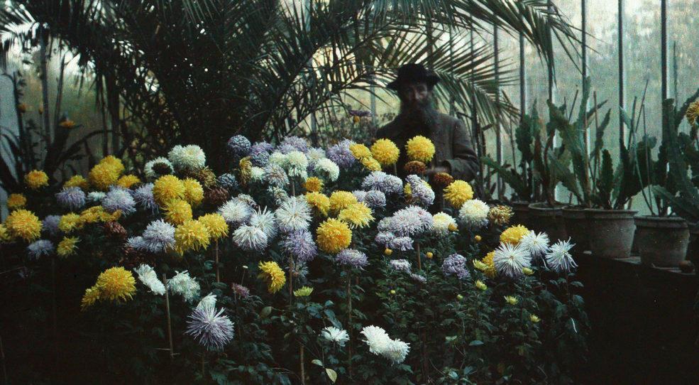 La serre de chrysanthèmes