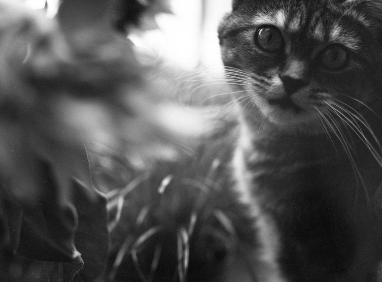 Adorable chat qui met des poils partout sur les négatifs, photographié avec la chambre Graflex
